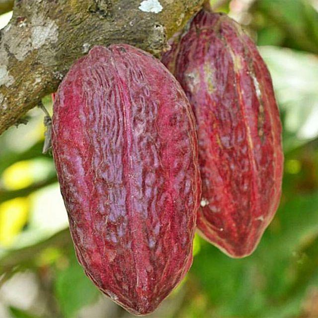 Cacao en una plantación en Ecuador