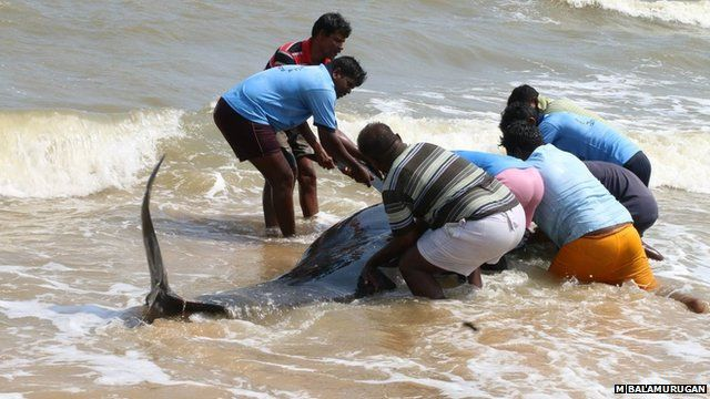 Locals try to push a whale back into the sea near Tuticorin
