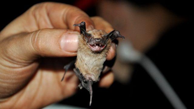 Morcego Molossops temminckii, típico da América do Sul