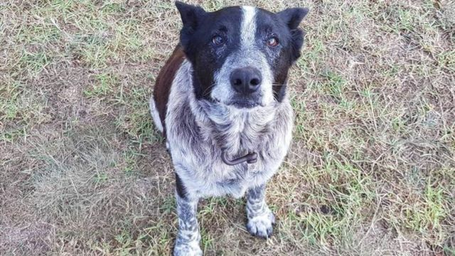 Max, a cattle dog