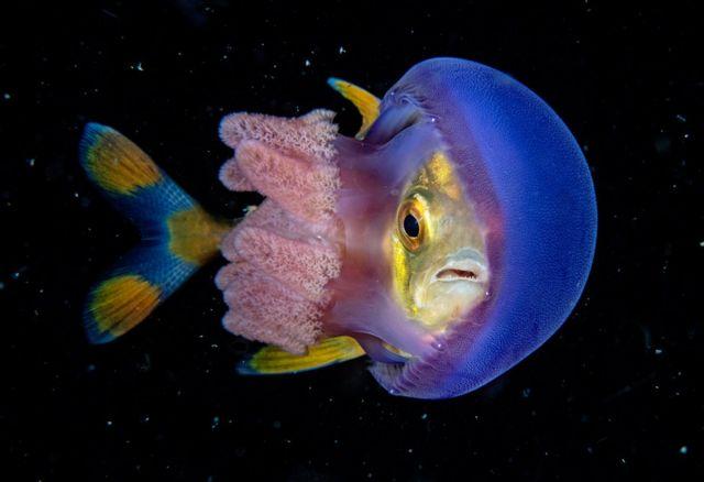 медуза и рыба