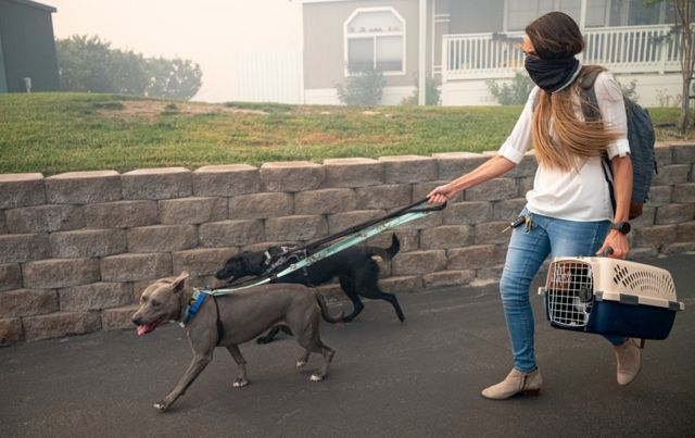 A women with her face covered to prevent breathing in smoke walks with two dogs on leash and a small animal crate in hand