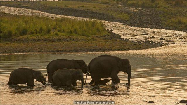 Fillərin xilası bizdən çox asılıdır (Mənbə: Yashpal Rathore/naturepl.com)