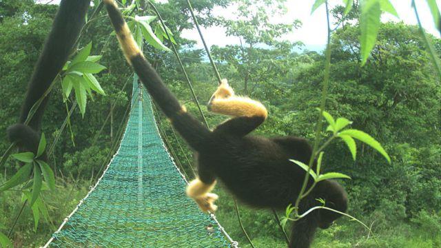 Mono aullador con parte de la cola y las patas amarillas