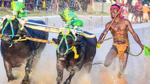 Srinivas Gowda: The Indian buffalo racer compared to Usain Bolt