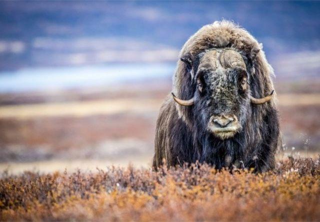 麝牛靠自己厚實的多層毛皮適應北極凍土地帶的嚴寒氣候。