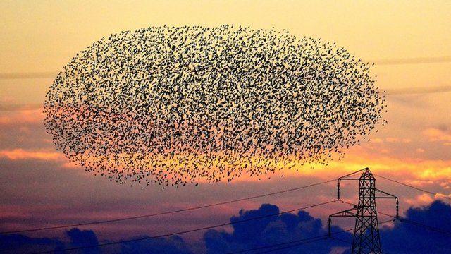 Starlings in flight