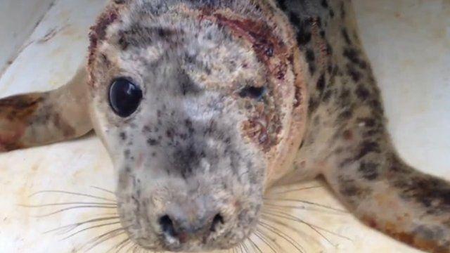 Injured seal
