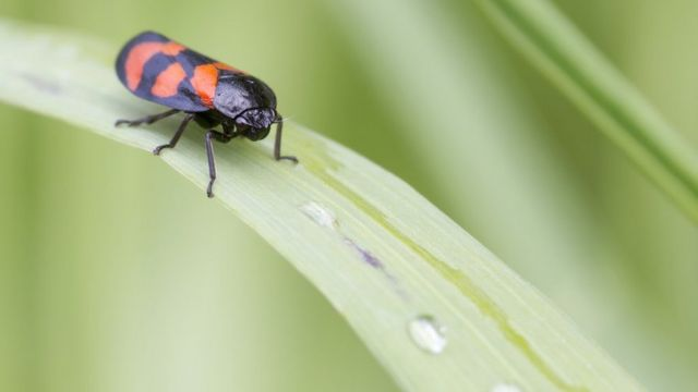 Bug hunt: Volunteers needed to spot insect's 'spittle'