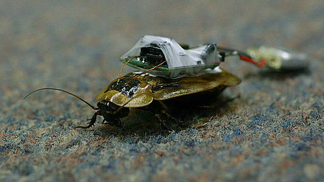 A Central American Giant Cave cockroach fitted with an electronic device