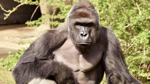 17歳のハランビは2014年にシンシナティ動物園に連れて来られた