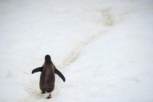 A penguin walking on ice