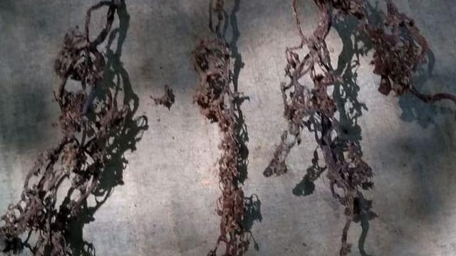 Flores de videira queimadas por causa do agrotóxico