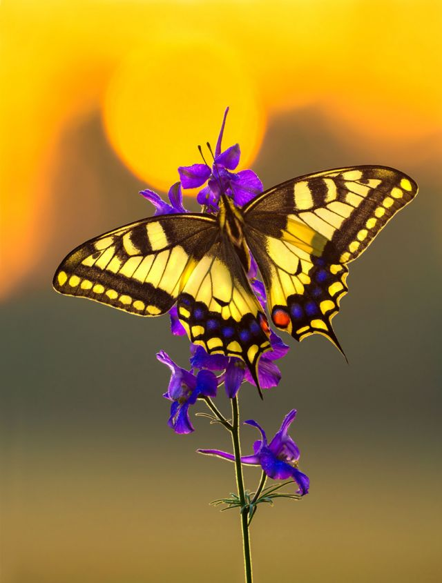 Бабочка на рассвете