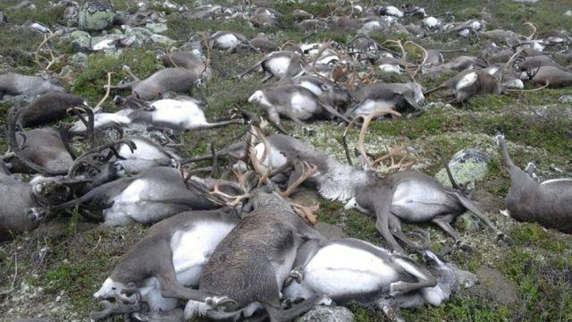 Los renos que murieron por una tormenta eléctrica.