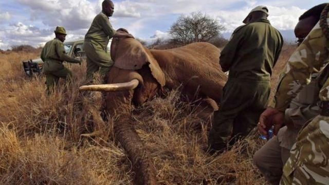 فيل تحت تأثير المخدر