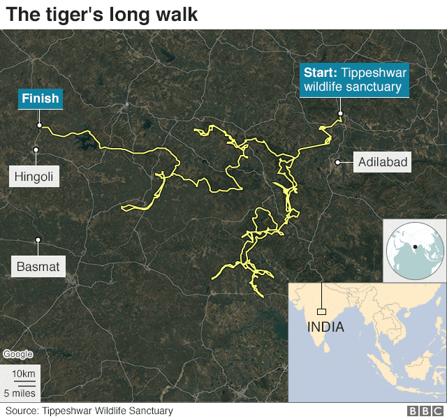 A map showing the tiger's route