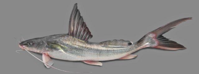 আইড় মাছ