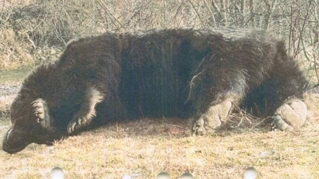 Вбитий ведмідь