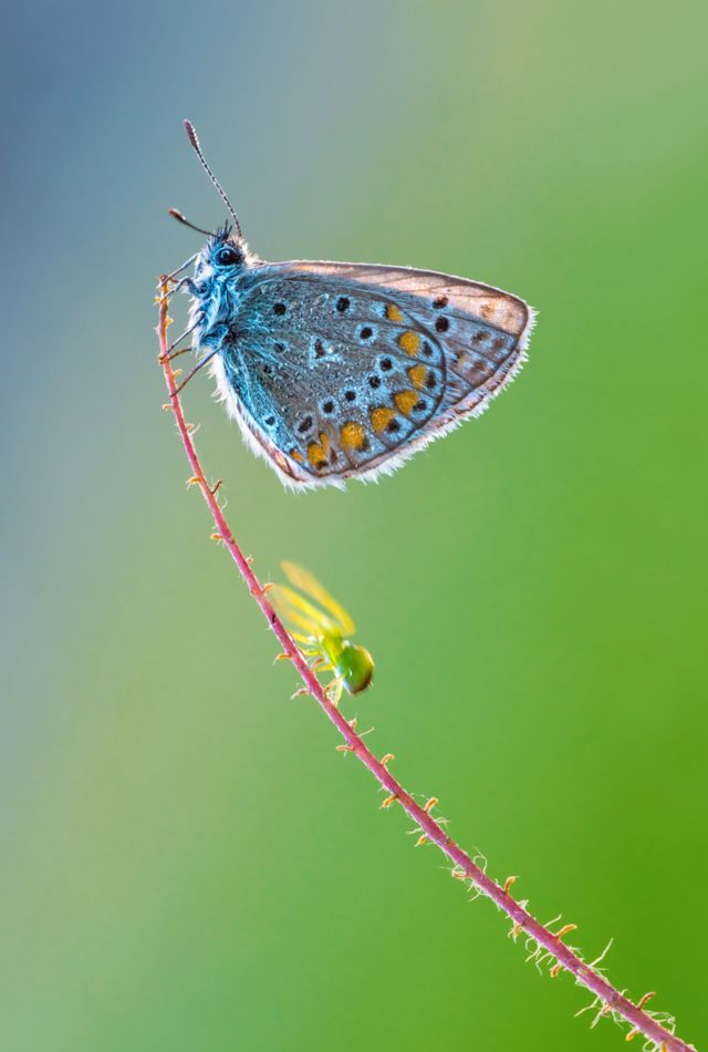 Паук движется вверх по стеблю, приближаясь к бабочке