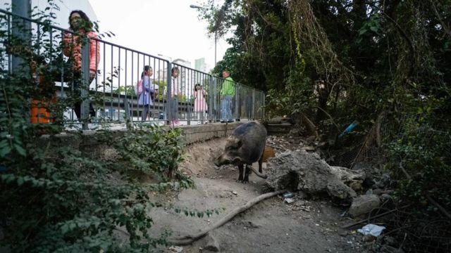 تكاثرت الخنازير البرية في المدن بفضل وفرة الطعام والمأوى