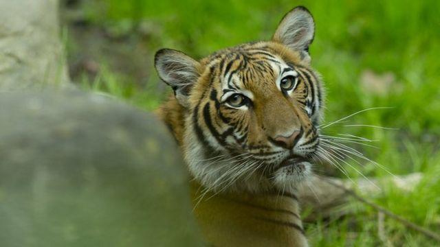 Один из тигров в нью-йоркском зоопарке 27 апреля April 2017