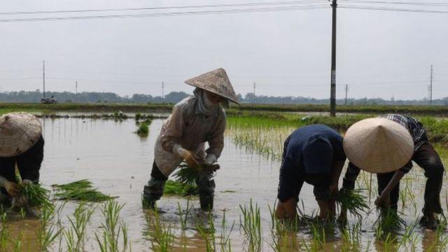Người dân trồng lúa