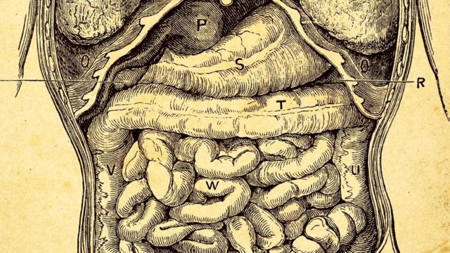 Кишечник человека (старая иллюстрация)