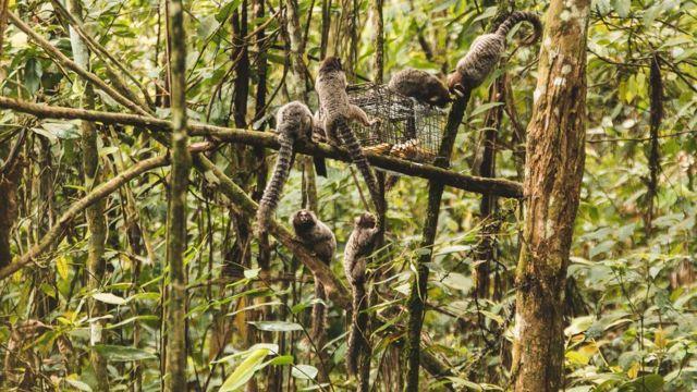 Gangue de macacos tentando roubar a banana da armadilha