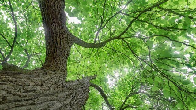Árbol Catalpa