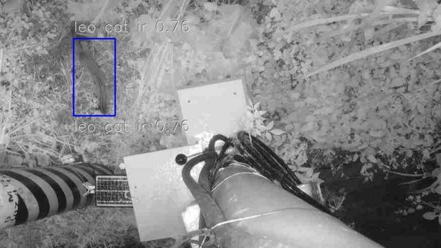 设备夜间侦测到的台湾石虎。