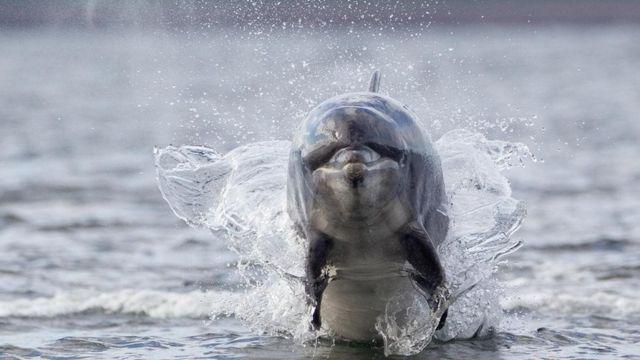 أحد الدلافين في المياه