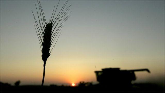 آلة للحصاد تعمل في حقل للقمح.