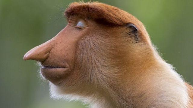 صورة جانبية (بروفيل) لقرد الململة
