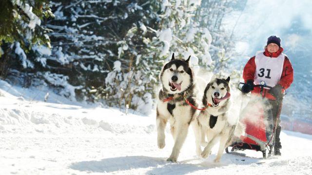 anjing huskies