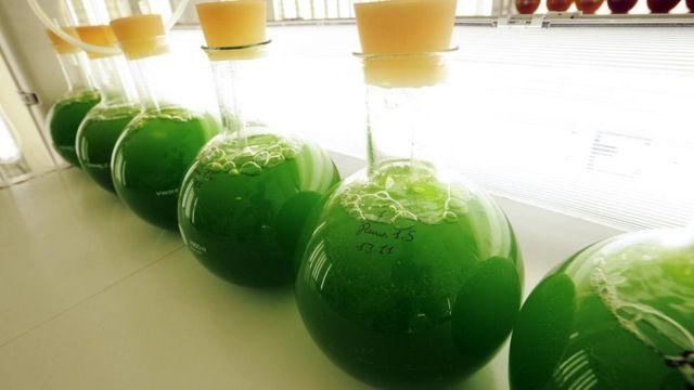 अल्जी से भी तेल निकाला जा सकता है, लेकिन इसकी पाम ऑयल से प्रतिस्पर्धा कराना मुश्किल है