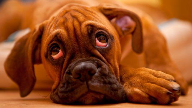 Perro con expresión triste