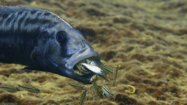 慈鯛魚寶寶出世了