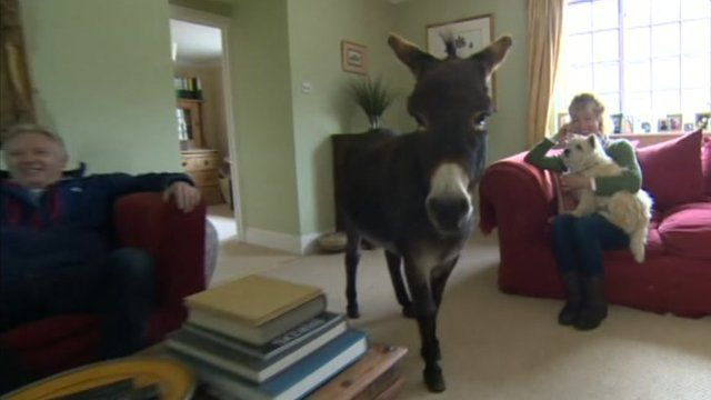 Dougie the donkey walking through the living room while his owners sit on the sofa