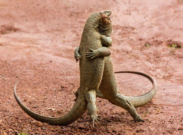 탱고 춤을 추는 듯 보이는 한 쌍의 도마뱀. 스리랑카에서 세르게브 사비가 찍은 사진