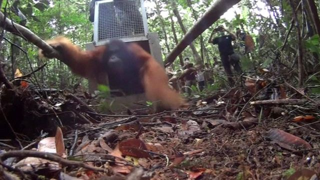 Orangutan being freed from cage