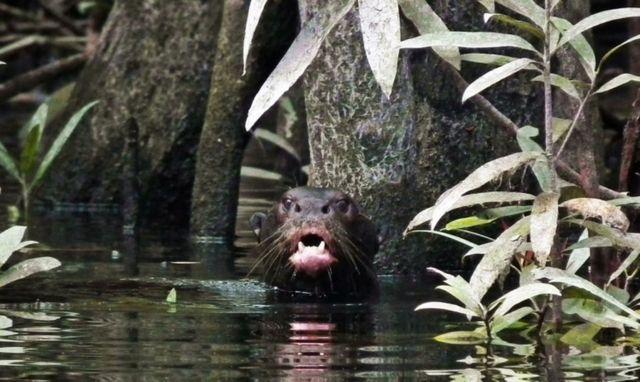 Ariranha em rio no noroeste da Amazônia
