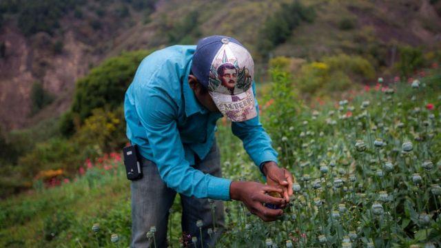 Cultivo de amapola en Guerrero