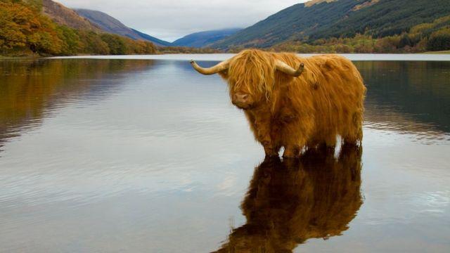 Корова хайлендской породы в озере
