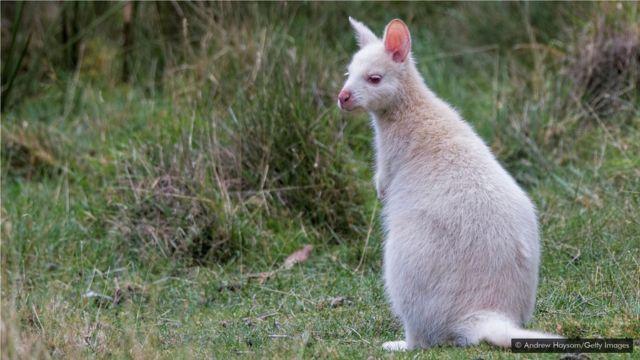 布朗尼岛有很多白袋鼠。