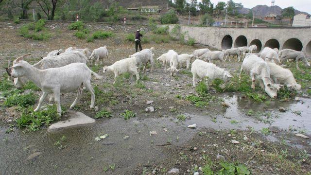 Kurumuş nehir yatağında yayılan keçiler.