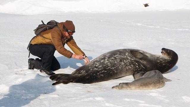 Відбір біоматеріалу в самки тюленя