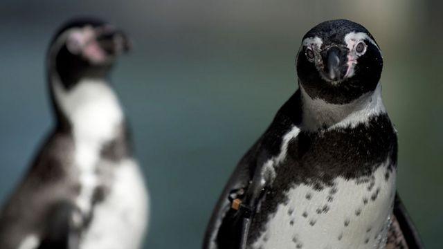 El pingüino de Humboldt es una especie vulnerable y en peligro.