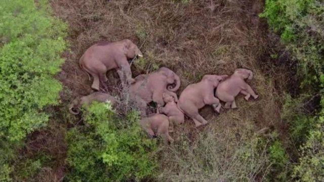 استفاده از هواپیماهای بدون سرنشین برای زیر نظر داشتن گله فیل، اینجا در جنگل خوابیدهاند