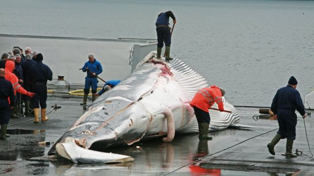アイスランドの捕鯨活動